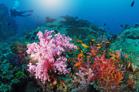 hardcoral: Beautiful colorful soft coral with diver, Similan, Thailand. Stock Photo