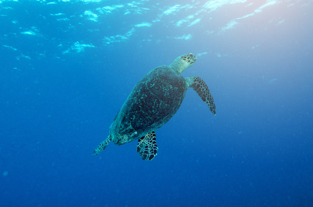 hardcoral: An ocean underwater reef with sun light through water surface and sea turtle Stock Photo