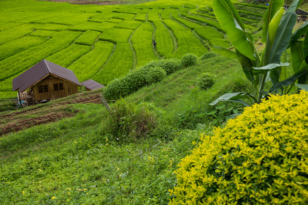 terraced field: Terraced rice field on Mountain, Pa Pong Piang village, Chiang mai Province, Northern of Thailand
