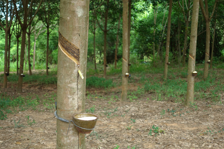 deepness: Milky latex extracted from rubber tree as a source of natural rubber in Thailand