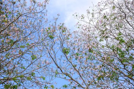 Pink trumpet tree Tabebuia rosea blossom in Kamphangsean, Nakornpathom, Thailand Stock Photo