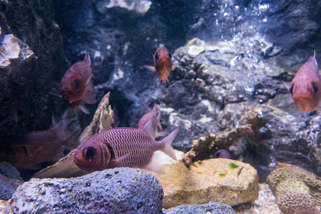 hard coral: squirrel fishes