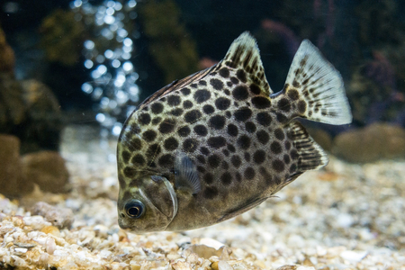 indopacific: Scatophagus argus. The spotted scat fish