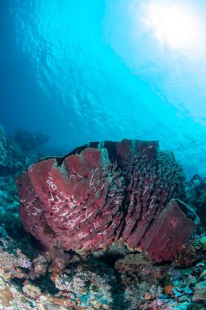Large sponge in Wakatobi National Park, Indonesia. Stock Photo