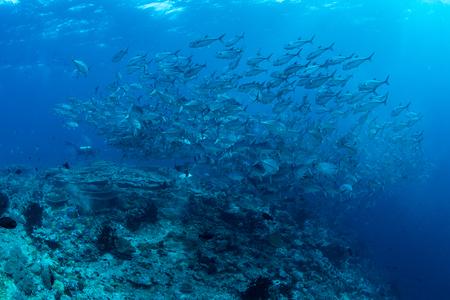 Jack fish school in Wakatobi National Park, Indonesia.
