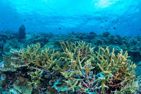 Stag horn coral in Wakatobi National Park, Indonesia.