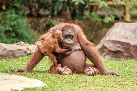 orangutan: A young orangutan kisses his mother with love at zoo