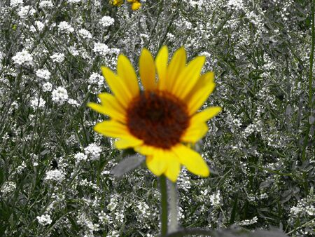 helianthus: Sunflower (Helianthus anuus)