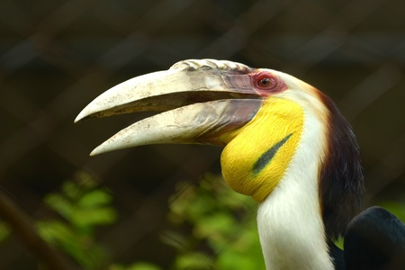 Hornbill beautiful  photo