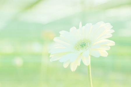 barberton daisy: Gerbera , Barberton daisy Flowers soft focus with pastel tones.