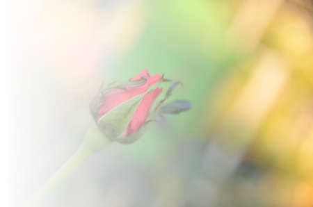 whittle: Bouquet of orange roses soft blur background in vintage pastel tones