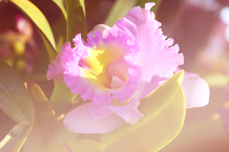 barberton daisy: Orchid Barberton daisy Flowers soft focus with pastel tones. Stock Photo