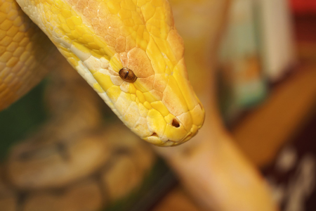 possess: These pythons possess incisive teeth which are pointed backwards