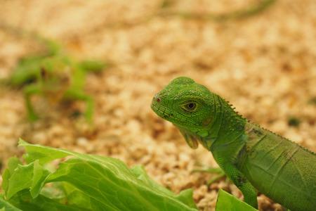 vivarium: Vivarium This iguana specie can be furnished in a similar fashion to enclosures