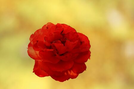 red rose bokeh: Red roses in yellow background. Stock Photo