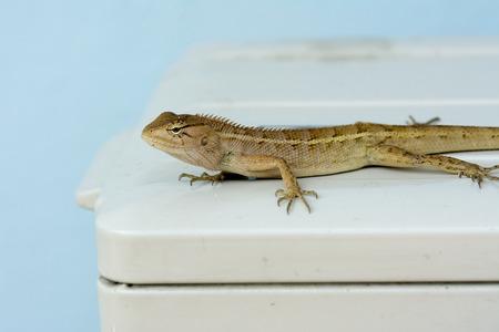 condenser: Species of lizards in the air condenser.