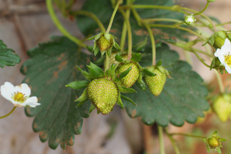 commercially: Strawberries being grown commercially on irrigation system