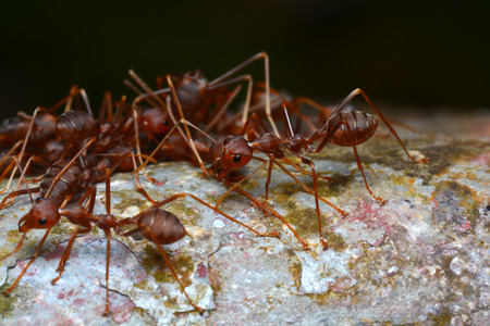 abstract food: red ant teamwork in the nature