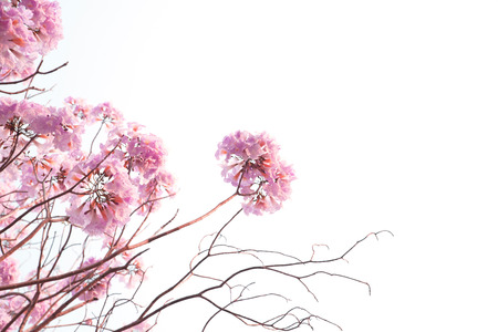 trumpet: Pink flowers, pink trumpet trees, white background