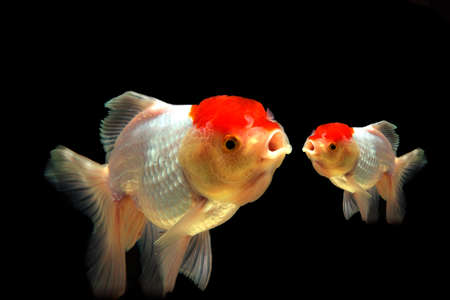 pez dorado: Dos peces de colores aislados sobre un fondo negro difuminado