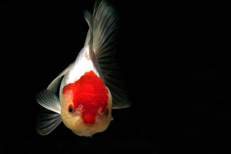 peces de colores: Goldfish aislado en blacbackground, borroso