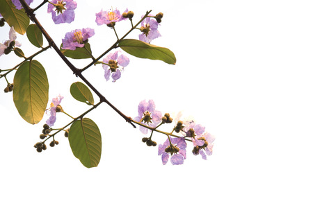 perennials: Lagerstroemia loudonii or Salao flower ( Lythraceae ) Beautiful bunches pink flowers of perennials in the tropics