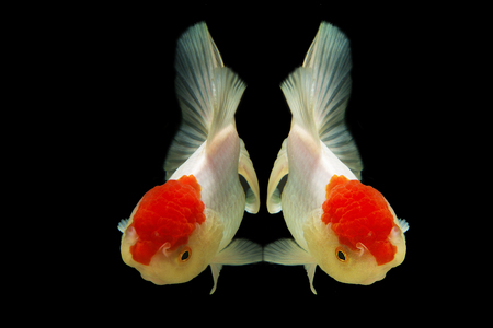 jelly head: The shape of the two goldfish on a black background Stock Photo
