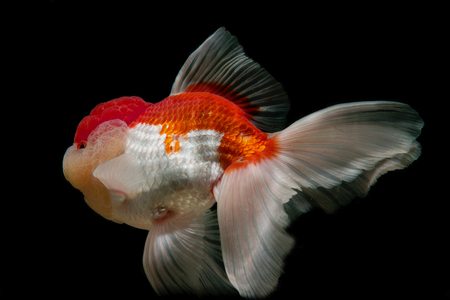 jelly head: The shape of the goldfish on a black background Stock Photo