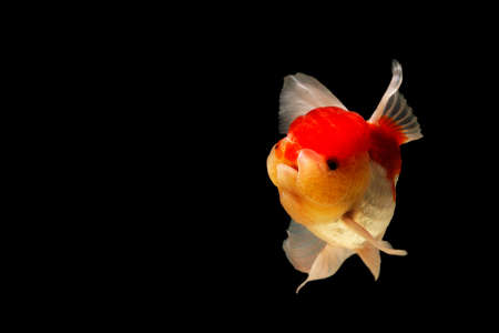goldfish jump: Goldfish in motion blur on a black background