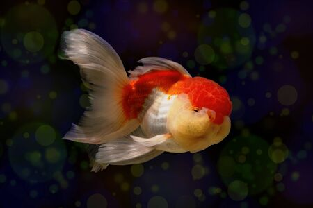 escape key: Goldfish with bokeh effect abstract background