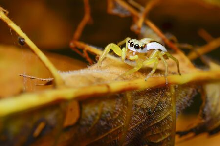 arachnoid: Jumping spider with yellow forest Thailand.