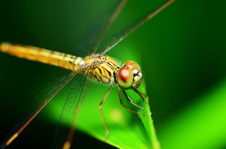 odonata: Close-up of a dragonfly on blurred yellow leaves Stock Photo