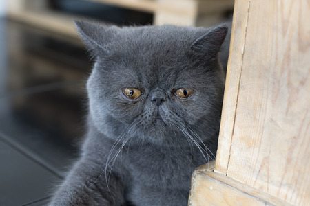 gape: The look of gray Persian cat lying on the floor