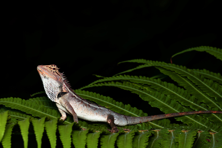 species of creeper: Lizard on a green leaf, natural black background