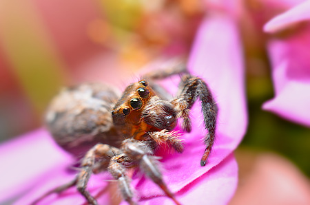 Jumping spider has a speed of about 60 km  h. Standard-Bild