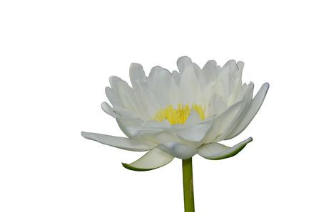 Lotus isolated single background image on the surface