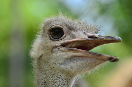 flightless: Close-up of head: Note the highly modified feathers