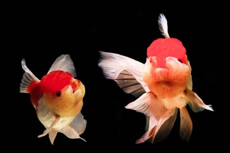 Two goldfish are isolated on black background