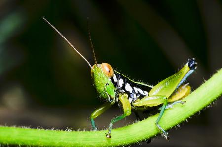 Wildlife grasshopper in green in Natural background