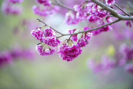 Wild Himalayan Cherry flower in Natural background Stock Photo