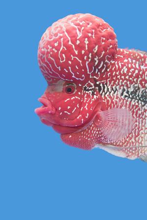 Flowerhorn Cichlid fish in Texture background