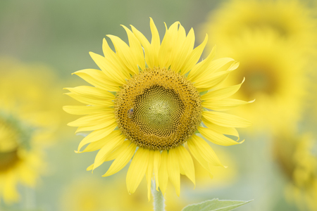 A beautiful sunflower field as background natural greenery plants landscape, ecology, fresh wallpaper concept.