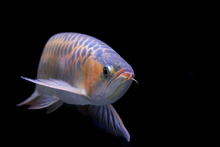 Arowana Fish Concept is a background or wallpaper. Stock Photo - 90001414
