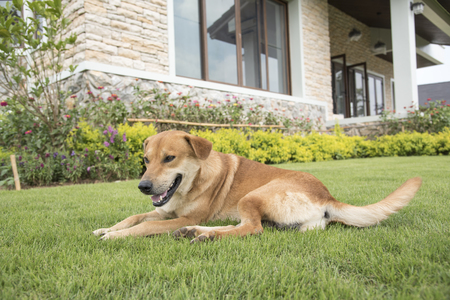 The character of a brown dog is lying in the lawn on the background of the wallpaper concept. Stock Photo