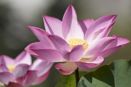 Lotus природа с копией пространства, используя в качестве естественного фона или обои концепции.