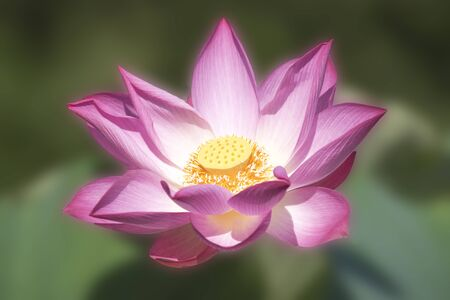 The bright color lotus on the natural background The backdrop concept is the wallpaper.