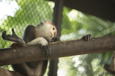 red-shanked douc langur as natural background or wallpaper. Stock Photo