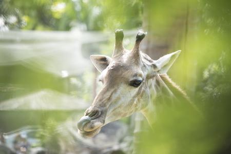 giraffe as natural background or wallpaper. Stock Photo