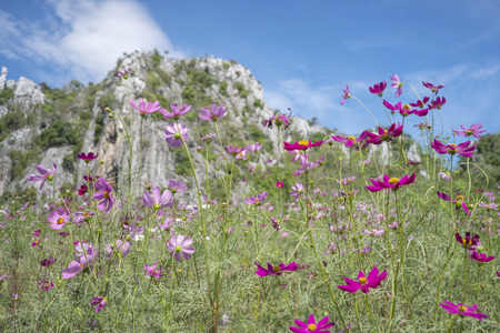 Cosmos Flower Garden Thung Siri In the middle of the bloom in , Saraburi