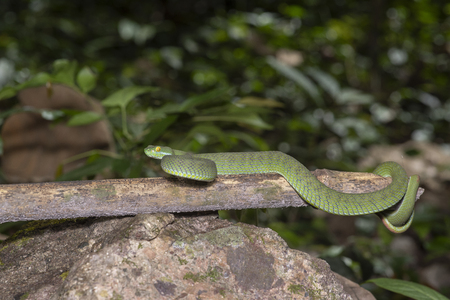 snake green pit viper in forest onThailand Stock Photo - 117117893